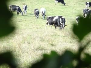Vaches au Pays de Bray